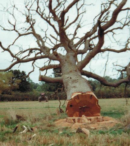 a felled oak tree in Radnorshire