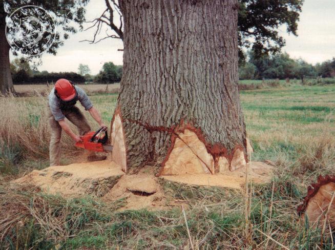 felling an oak tree